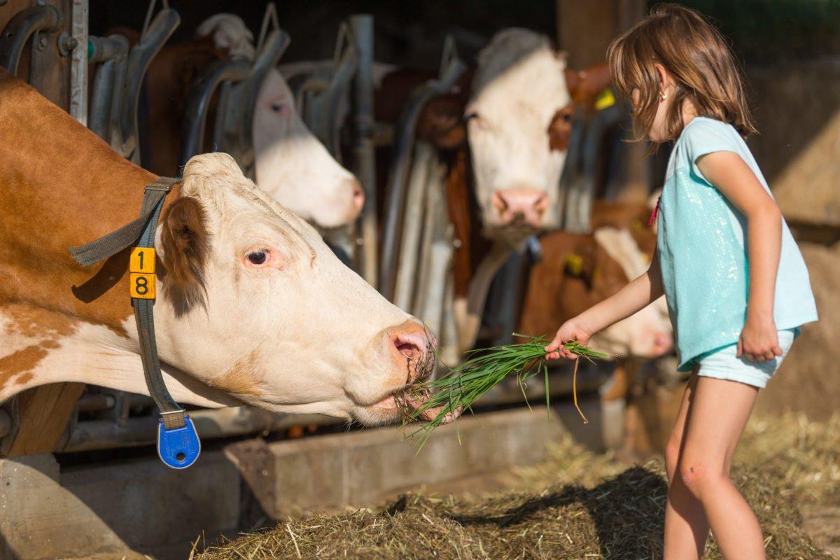 Kühe füttern am Stoffnerhof